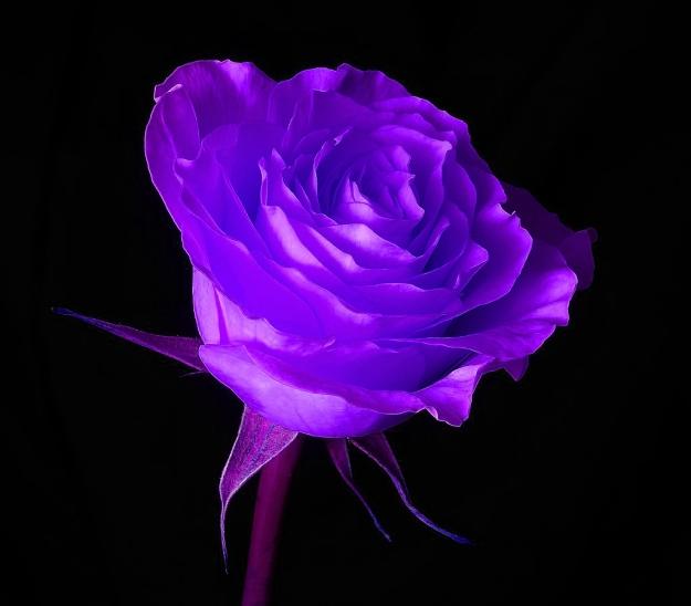 purple rose 01 by picsofflowers.blogspot.com