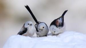 snow-birds_00386155