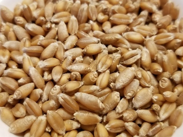 Red Clawson Wheat Seeds, image from https://greatlakesstapleseeds.com/products/red-clawson-wheat
